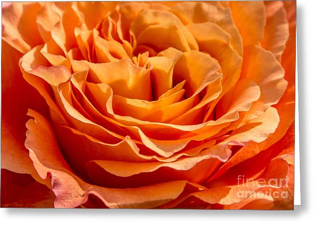 Peaches Pyrography Greeting Cards - Peach Rose Close Up Greeting Card by Olga Photography