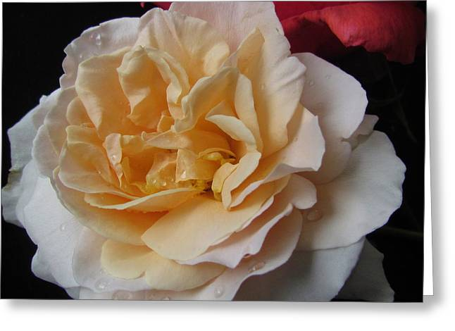 Greeting Cards - Peach Rose Greeting Card by Joyce Woodhouse
