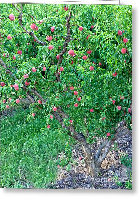 Lady Washington Greeting Cards - Peach Tree White Lady Greeting Card by Inga Spence