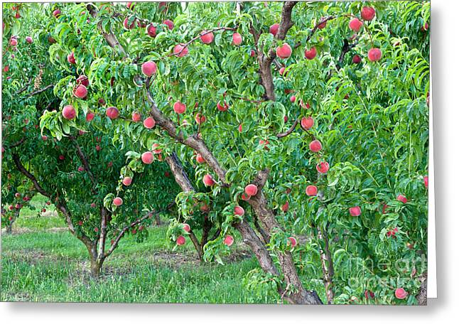 Lady Washington Greeting Cards - Peach Trees White Lady Greeting Card by Inga Spence