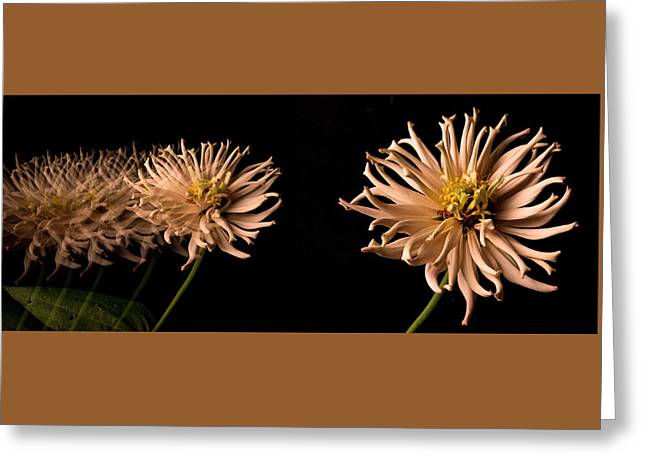 Zinnias Greeting Cards - Peach Zinnia Diptych Greeting Card by Don Spenner