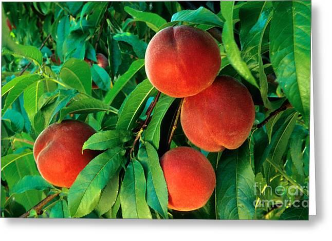 Prunus Persica Greeting Cards - Peaches Prunus Persica Greeting Card by Inga Spence