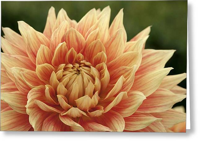 Dinner-plate Dahlia Greeting Cards - Peachy Pink Dahlia Greeting Card by Patricia Strand