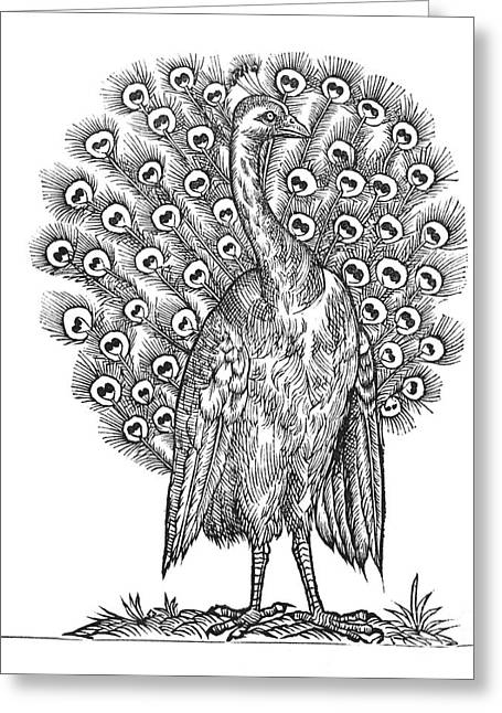 1555 Greeting Cards - Peacock, 1555 Greeting Card by Middle Temple Library