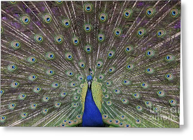 Iridescent Greeting Cards - Peacock Display Greeting Card by Tim Gainey