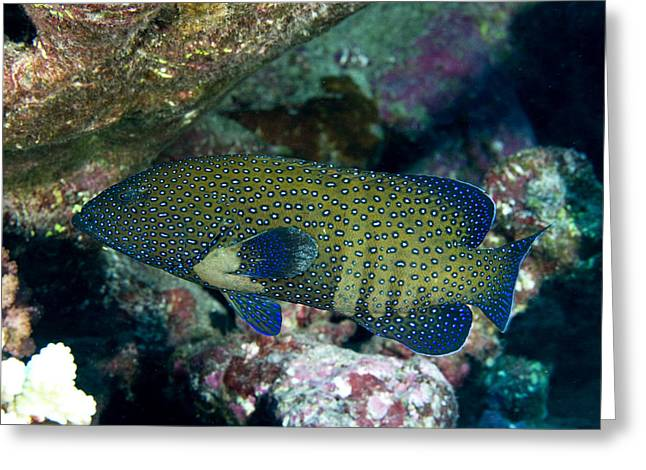 Grouper Greeting Cards - Peacock Grouper Cephalopholis Argus Greeting Card by Tim Laman