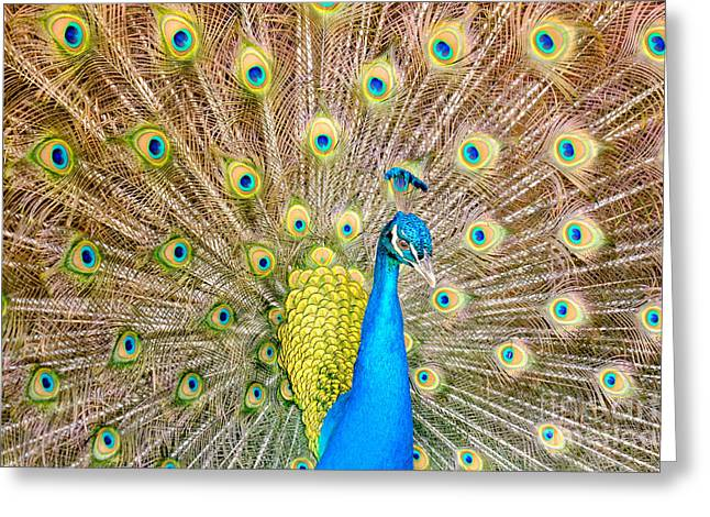 Strut Photographs Greeting Cards - Peacock Strut Greeting Card by Dawna  Moore Photography