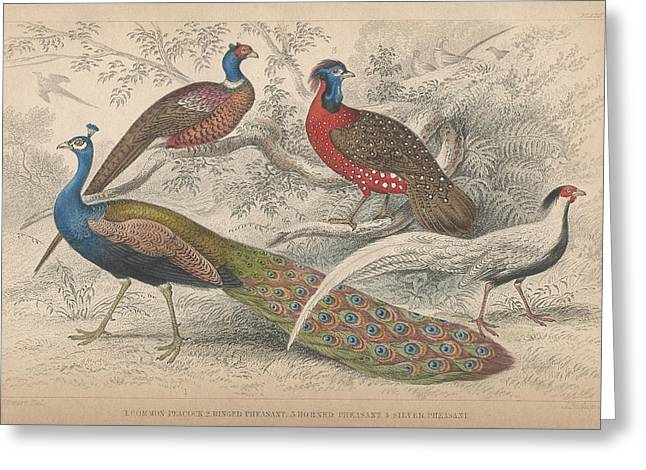Silver Drawings Greeting Cards - Peacocks Greeting Card by Oliver Goldsmith