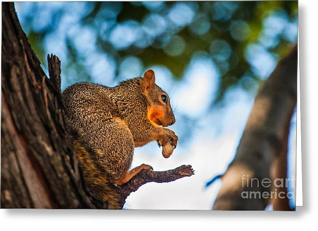 Eastern Fox Squirrel Greeting Cards - Peanut Time Greeting Card by Robert Bales