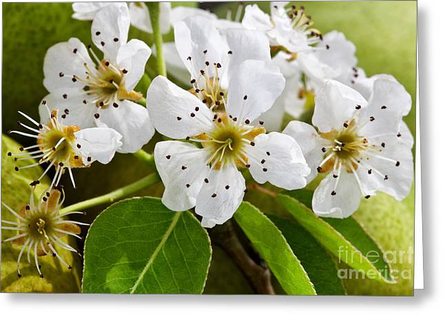 Stamen Greeting Cards - Pear Blossoms Greeting Card by Inga Spence