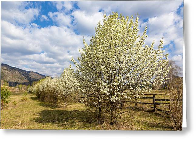 Blue Green Wave Greeting Cards - Pear Trees in Bloom. Altai Greeting Card by Victor Kovchin