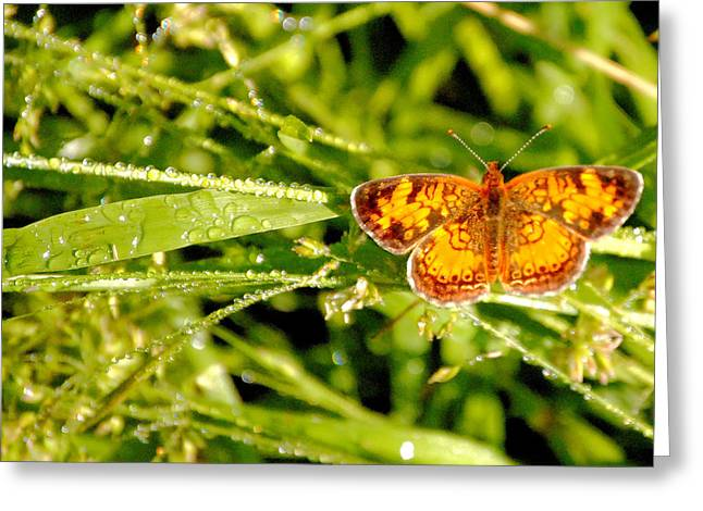 Wisconsin Greeting Cards - Pearl Crescent Butterfly Wisconsin Greeting Card by Laura Pineda