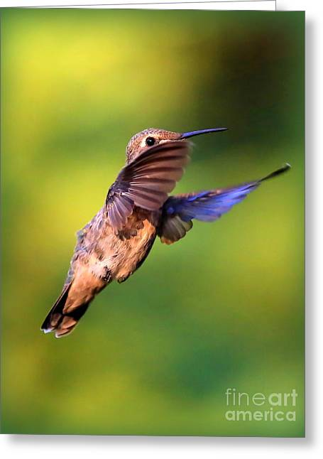 Carol Groenen Greeting Cards - Peek-a-boo Hummingbird Greeting Card by Carol Groenen