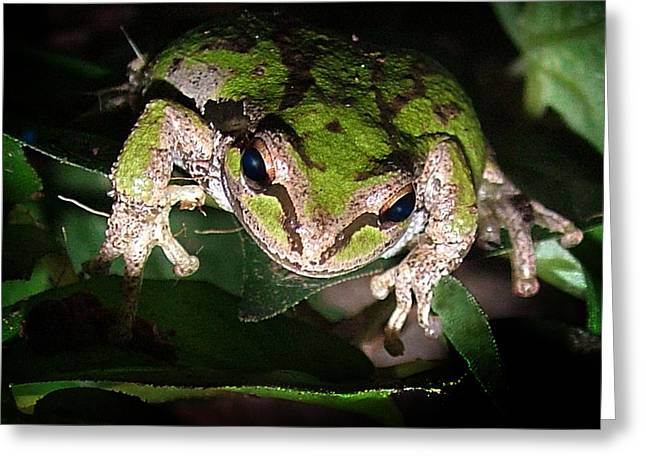 Frogs Photographs Greeting Cards - Peek a Boo Pacific Tree Frog Greeting Card by Nick Gustafson