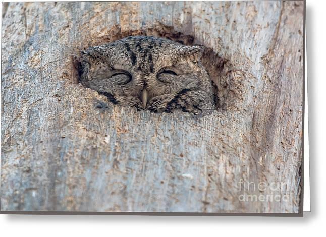 Morph Greeting Cards - Peek a Boo Screech Owl Greeting Card by Cheryl Baxter