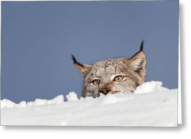 Bobcats Greeting Cards - Peeking Bobcat Greeting Card by Sandy Brooks