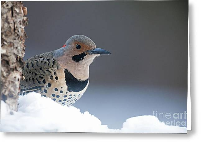 Flicker Greeting Cards - Peeking Flicker Woodpecker  Greeting Card by Tim Grams