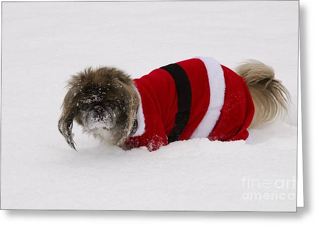 Outfit Greeting Cards - Pekingese Dog In Santa Outfit Greeting Card by Kenneth M. Highfill