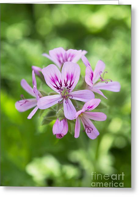 Scented Greeting Cards - Pelargonium Camphor Rose Greeting Card by Tim Gainey