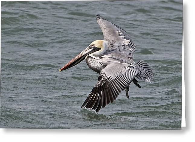 Pelicans Flying Over Water Greeting Cards - Pelican In Flight Greeting Card by Janet Ogren
