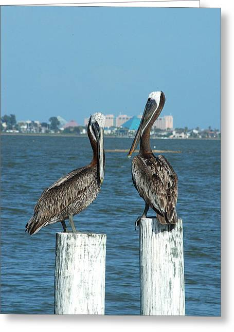 Galveston Greeting Cards - Pelican Duo Greeting Card by Robert Anschutz