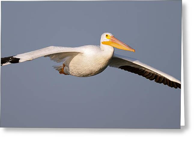 Flying White Pelicans Greeting Cards - Pelican Gliding in Greeting Card by Gary Langley
