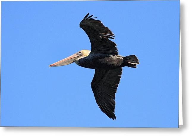Flying Animal Greeting Cards - Pelican in flight  Greeting Card by Pierre Leclerc Photography