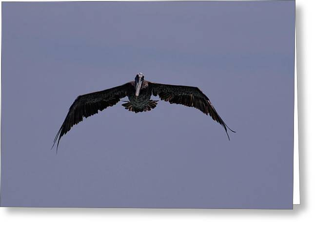 Pelican In Flight  Greeting Card by Zina Stromberg