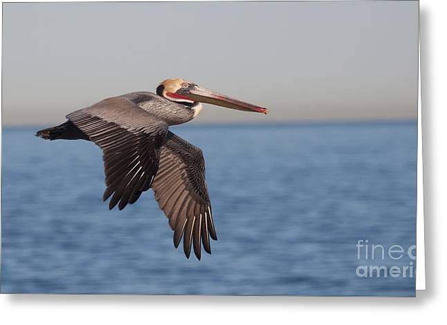 Pelicans Over Ocean Greeting Cards - Pelican in the California Skies Greeting Card by Ruth Jolly