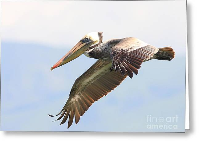 Pelican In The Sky Greeting Card by Wingsdomain Art and Photography