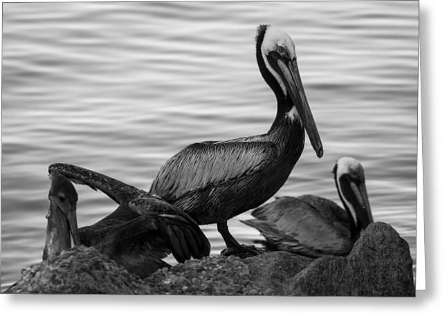 Flying Animal Greeting Cards - Pelican on Rocks  Greeting Card by Debra Forand