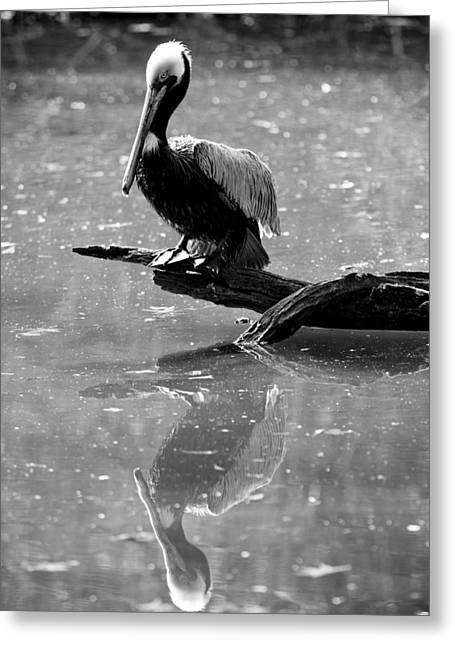 Pelican Greeting Cards - Pelican Reflections Greeting Card by Dustin K Ryan