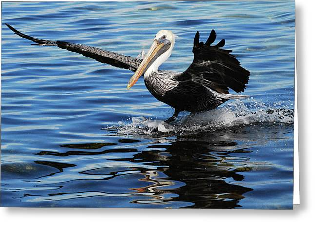 Reflectio Greeting Cards - Pelican Smooth Landing Greeting Card by Roger and Michele Hodgson