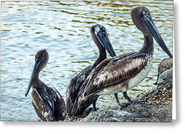 Flying Animal Greeting Cards - Pelicans On Rocks 2 Greeting Card by Debra Forand