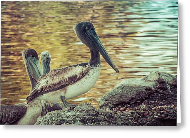 Flying Animal Greeting Cards - Pelicans On Rocks 3 Greeting Card by Debra Forand
