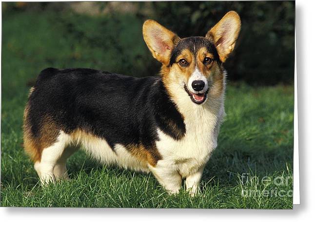 Working Dog Greeting Cards - Pembroke Welsh Corgi Greeting Card by Gerard Lacz