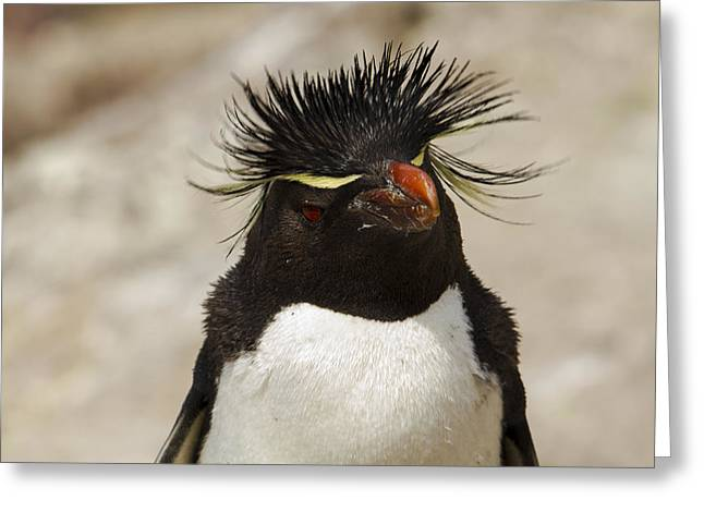 Aquatic Greeting Cards - Penguin rockhopper Greeting Card by Hernan Caputo