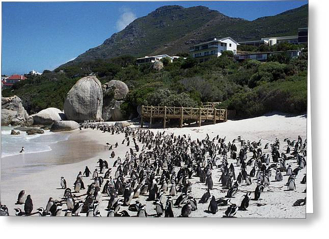 Penguin's Of Africa Greeting Card by Terence Davis