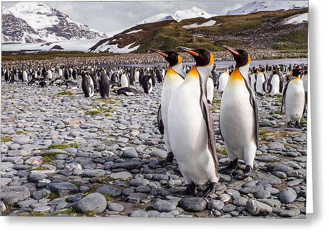 Penguins Of Salisbury Plain Greeting Card by Karen Lunney