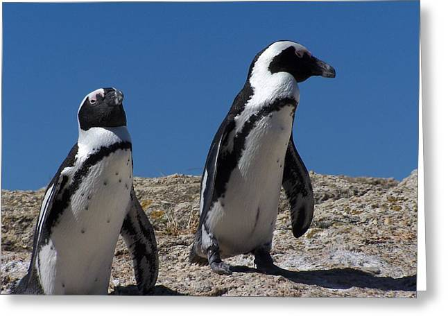 Cape Town Greeting Cards - Penguins Greeting Card by Vijay Sharon Govender