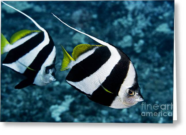 Pennant Bannerfish Greeting Card by Dave Fleetham - Printscapes