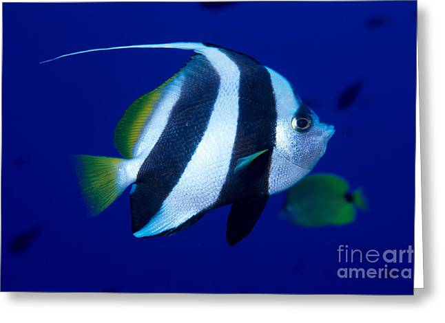 Pennant Butterflyfish Greeting Card by Ed Robinson - Printscapes