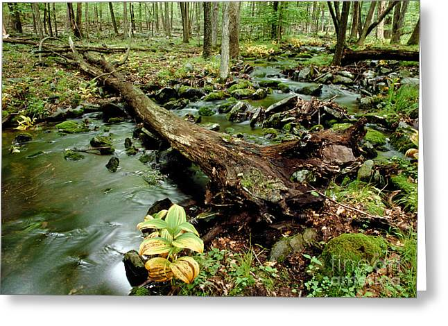 Forest Floor Greeting Cards - Pennel Run Greeting Card by Michael P. Gadomski