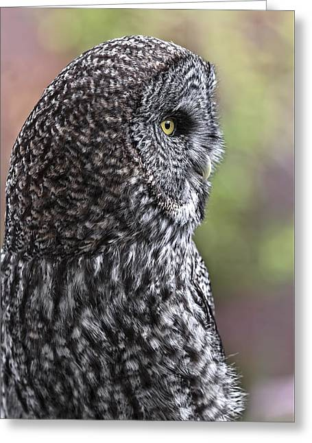 Pensive Greeting Cards - Pensive Great Grey D9105 Greeting Card by Wes and Dotty Weber