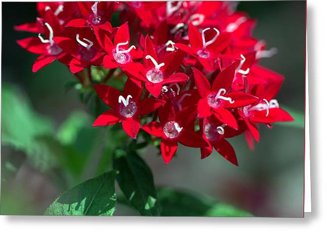 Shades Of Red Greeting Cards - Penta Red Glory Greeting Card by Carol Komassa