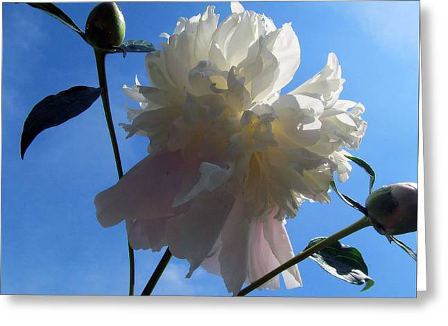 Indiana Flowers Greeting Cards - Peony Family Greeting Card by Tina M Wenger
