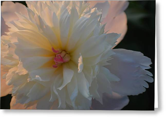Indiana Flowers Greeting Cards - Peony For You 2015 1 Greeting Card by Tina M Wenger