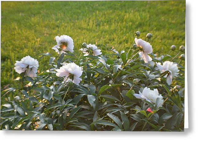 Indiana Flowers Greeting Cards - Peony For You 2015 2 Greeting Card by Tina M Wenger
