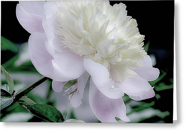 Peony In Bloom Greeting Card by Julie Palencia