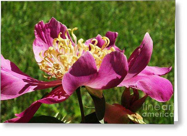 Heavenly Scent Greeting Cards - Peony  Greeting Card by J L Zarek